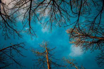 view from below tall trees without leaves