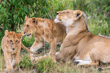 Lion Cubs with his mother in the savanna