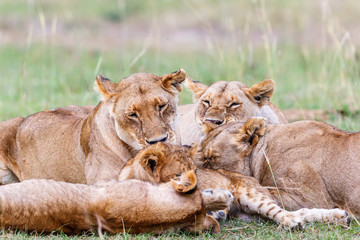 Lionesses with their cubs lying and resting