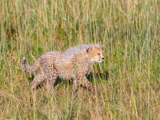 Curious young cheetahs cub with fuzzy fur in the grass
