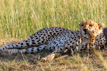 Resting Cheetah lying down and scratches his nose with his paw