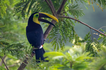 Photo sur Plexiglas Toucan Keel-billed Toucan - Ramphastos sulfuratus, large colorful toucan from Costa Rica forest with very colored beak.