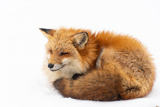 Portrait of fox during snowing at fox village in Fukushima, Japan in winter time.
