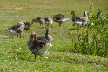 Ducks on a summer meadow flapping their wings.