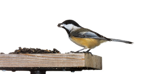 Chickadee Eats a Sunflower Seeds
