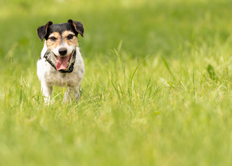small dog standing in a green meadow in spring. Jack Russell Terrier Hound 8 years old