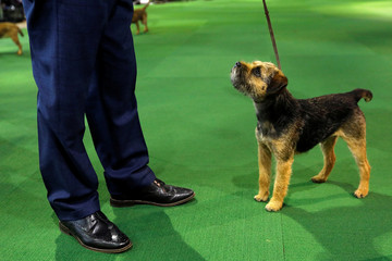 A Border Terrier looks up at his handler during judging in the Terrier group at the 143rd Westminster Kennel Club Dog Show in New York
