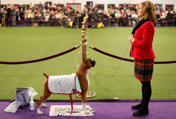 A Boxer dog waits to compete in the Working group at the 143rd Westminster Kennel Club Dog Show in New York