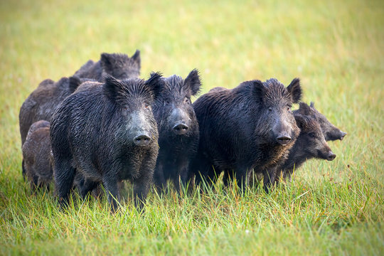 A herd of wild boars, sus scrofa, on a meadow wet from dew. Wild animals in nature early in the morning with moisture covered grass. Mammals in wilderness.