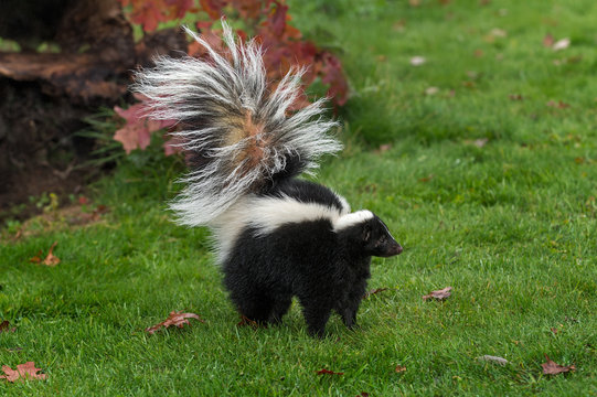 Striped Skunk (Mephitis mephitis) Stands Tail Up Autumn