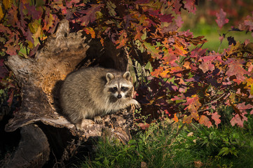 Fototapete - Raccoon (Procyon lotor) Hangs Out in Log Autumn