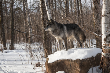 Wall Mural - Black Phase Grey Wolf (Canis lupus) Stands Atop Snowy Rock Winter