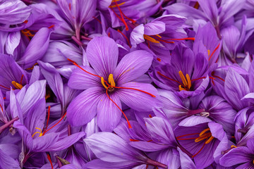 Harvest Flowers of saffron after collection. Crocus sativus, commonly known as the