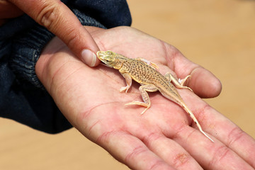 shovel Snouted Aporosaura Lizard (anchietae) in the hand - Namibia Africa