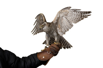 hawk attacking spreading wings sitting on leather glove, isolated on white background Fototapete