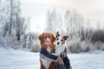 dog hugging. Pets in nature in winter. Cute Animals are friends. Small and big dog together. Toller and Jack Russell Terrier