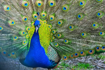 Blue peacock showing its feathers. Beautiful bird background