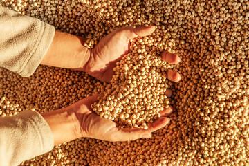 Fototapeta Human hands with harvest. obraz