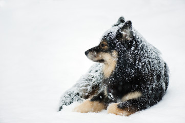 Finnish Lapphund resting in  winter snow.