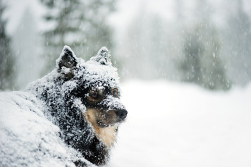 Finnish Lapphund in snowfall in winter landscape.