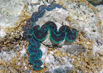 Underwater view of a Giant Clam (Tridacna Gigas) with blue lips in the Bora Bora lagoon, French Polynesia