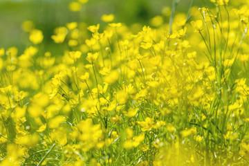 Yellow Ranunculus acris on the Spring Sunny Lawn