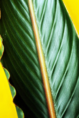 tropical lush green leaf against a curry colored background