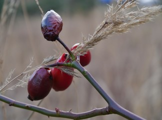 Rote Beere am Strauch