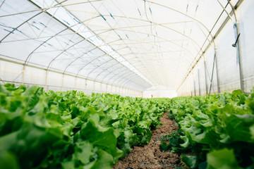 Lettuce growing in big greenhouse