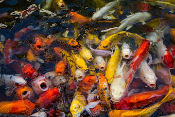 Colorfu carps