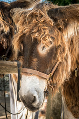 Portrait of a donkey with long hair