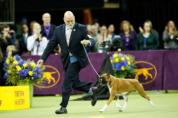 A Boxer dog competes before winning the Working group at the 143rd Westminster Kennel Club Dog Show in New York City, New York
