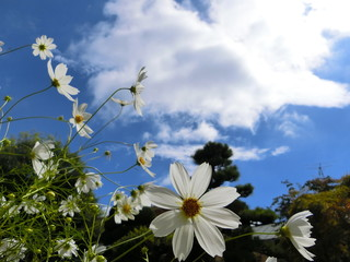 Lovely cosmos flowers give us lot of joy.