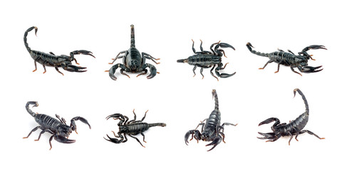 Group of scorpion isolated on a white background. Insect. Animal.