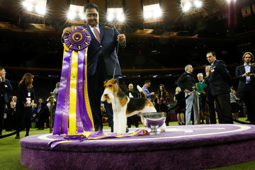 """A Wire Fox Terrier """"King"""" and its trainer Rangel pose for pictures after winning the Best in Show group at the 143rd Westminster Kennel Club Dog Show in New York City, New York"""