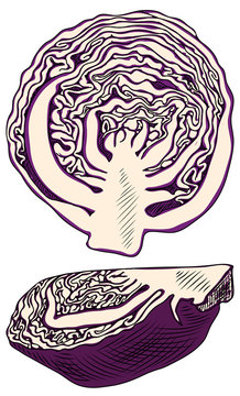 Useful vegetables. Two half red cabbage on white background.  Detailed drawing by hand.