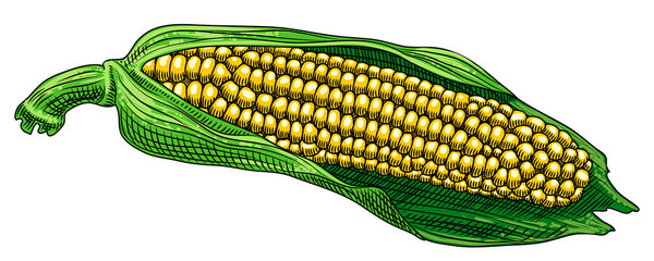 Useful vegetables. Cob of corn with leaves on a white background. Detailed drawing by hand.