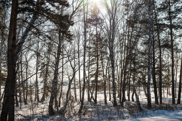 Winter forest. Field and forest under the snow. Winter in Siberia. Lots of snow in winter in the forest.
