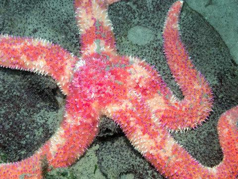 Rainbow Star(Orthasterias koehleri)