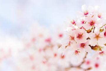Keuken foto achterwand Kersenbloesem 桜