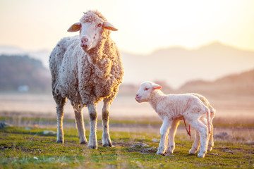 Two newborn lambs with still the umbilical cord near mother sheep