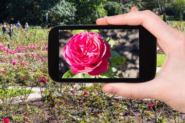 rose flowers in garden of Kislovodsk City Park
