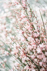 Close up Bouquet in a glass vase of light pink genista cytisus flowers. Pastel color. Spring flowering plant branches. flower shop