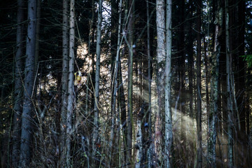 Sun rays through the trees. Dawn in the forest. Traveling in nature. Natural background.