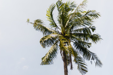 Coconut tree with sky background