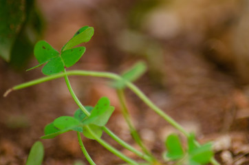 Macro shoot of the clover leafs in the garden