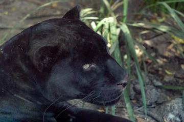 Tuinposter Panter Black panther jaguar portrait