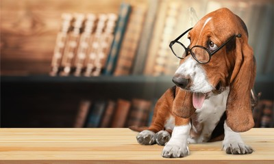 Basset Hound Using a Laptop Computer and Wearing Glasses