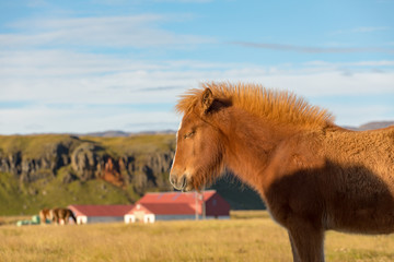 Iceland's thoroughbred horses graze on pasture