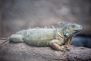 Izmır Natural life park (dogal yasam park) iguana Animal  (Izmir / Turkey)